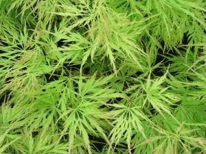 Acer palm. 'Dissectum van der Maat'