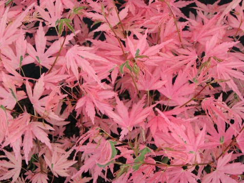 Acer palm Taylor