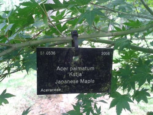 acer palm katja