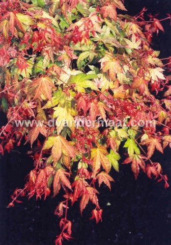 Acer palm Momoiro Koyasan
