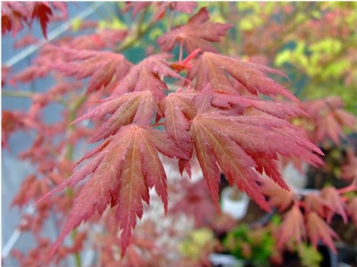 Acer palmatum 'Annick 'voorjaar
