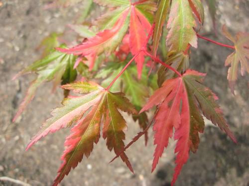 Acer palmatum 'Caroline'