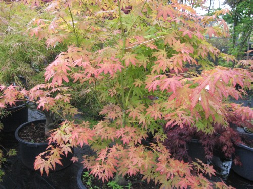 Acer palmatum 'Patrica'