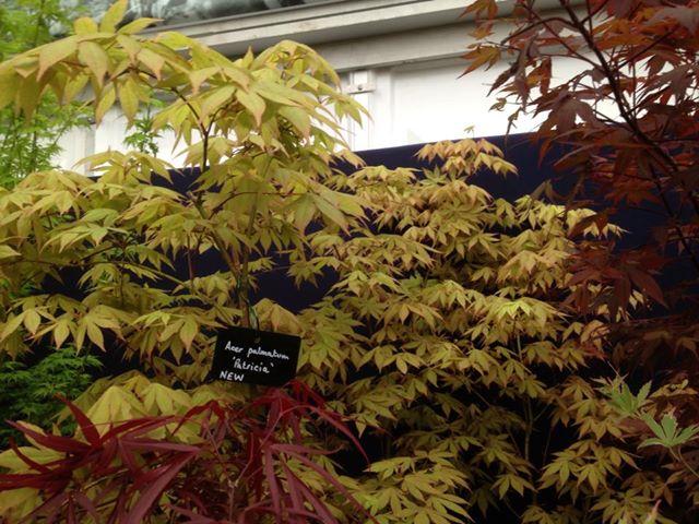 Acer palmatum 'Patricia'