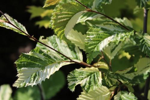 Carpinus betulus Vandermaat