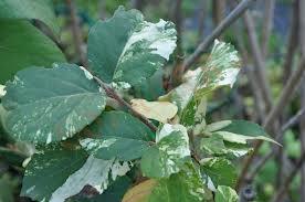 Viburnum carlcephalum 'Vandermaat'