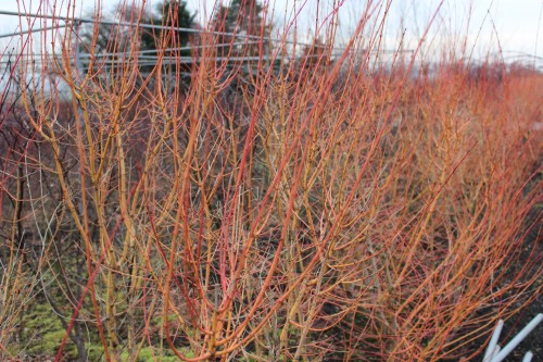 Acer palmatum 'Bi hoo'winter