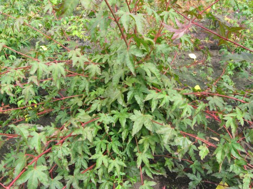 Acer palmatum 'Franny'