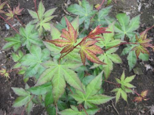 Acer palmatum Jane