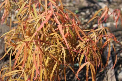 Acer palmatum'Fenna'
