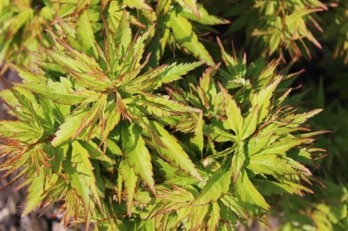 Acer palmatum 'Zoe'