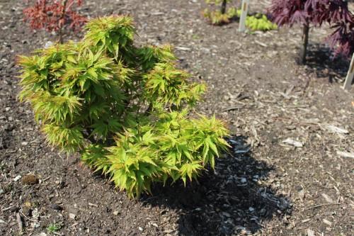 Acer palmatum'Zoe'