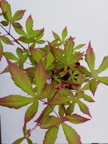 Acer palmatum 'Olivia Marjannie'